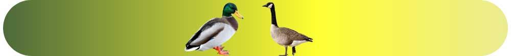 Kaz ve Ördek Yetiştirin